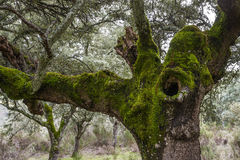 Forest of Mossy Oaks. Stock Photo