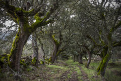 Forest of Mossy Oaks. Royalty Free Stock Photo
