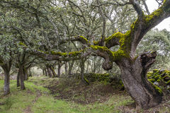 Forest of Mossy Oaks. Royalty Free Stock Image