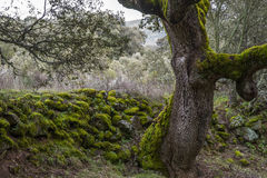 Forest of Mossy Oaks. Royalty Free Stock Photos