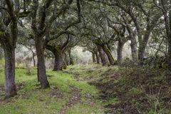 Forest of Mossy Oaks. Stock Image