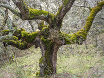 Forest of Mossy Oaks. Stock Photography
