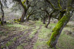 Forest of Mossy Oaks. Stock Photos