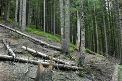 Forest in the mountains. Felled trees royalty free stock photography