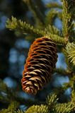 Forest in the mountains. Fir cones on the branch. royalty free stock photos
