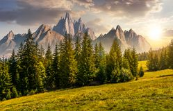 Forest in mountains with rocky peaks at sunset. Spruce forest on grassy hillside in mountains with rocky peaks at sunset. gorgeous composite image of summer Royalty Free Stock Photos