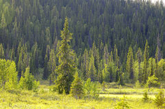 Forest on mountainside. Scenic view of green forest on mountainside in Laponia National Park, Sweden royalty free stock photo