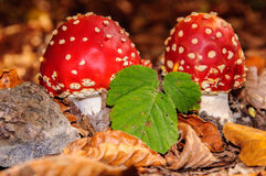 Forest Mushroom Royalty Free Stock Photos