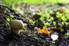 Forest mushroom. In natural surroundings Stock Image