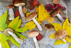 FOREST MUSHROOM. During autumn season Stock Images