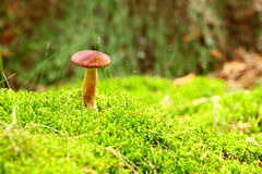 Forest mushroom bay bolete in a green moss Stock Photos