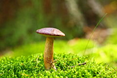 Forest Mushroom Bay Bolete In A Green Moss Royalty Free Stock Photos