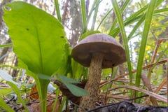 Forest Mushroom - Birch Bolete Stock Photos