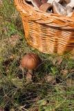 Forest mushroom brown cap boletus growing in a green moss. Stock Photos