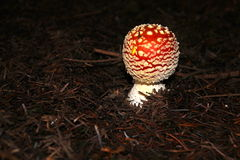 Forest mushroom in brown forest floor. In October Royalty Free Stock Photos