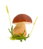 Forest mushroom closeup. On white background Stock Images