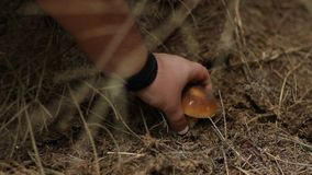 forest mushroom foraging hunting mushrooms in a coniferous dark hunting mushrooming picking and similar terms stock footage