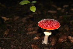 Forest mushroom in glade Stock Photos