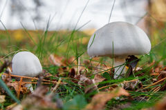 Forest mushroom in the grass Stock Photography
