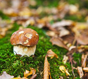 Forest mushroom in the grass Stock Photo