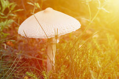 Free Forest Mushroom Growing On The Lawn In The Forest. House For Forest Dwellers. Fairy House Royalty Free Stock Photo - 97961545