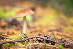 Forest Mushroom Royalty Free Stock Image