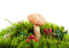 Forest mushroom in moss Royalty Free Stock Photo