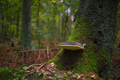 Forest mushroom on tree crown Royalty Free Stock Image