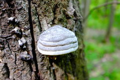 Forest mushroom on the tree Stock Photography