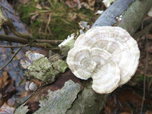 Forest Mushroom  2. Wild mushroom growing on dead log Royalty Free Stock Photo