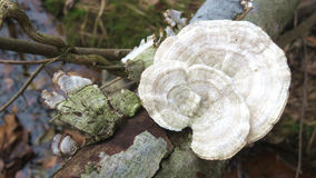 Forest Mushroom  3. Wild mushroom growing on dead log Royalty Free Stock Image