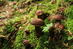 Forest Mushrooms. In moss and heather royalty free stock images