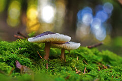 Forest mushrooms Stock Photos