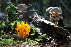 Forest mushrooms Royalty Free Stock Photography