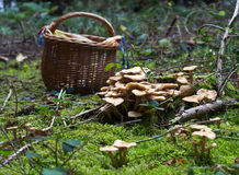 Forest mushrooms. On a bright day. In the background a basket stock images