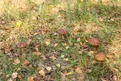 Forest mushrooms brown cap boletus growing in a green moss. Royalty Free Stock Photo