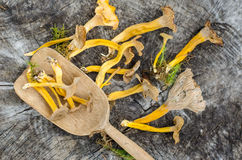 Forest mushrooms- craterellus Royalty Free Stock Photography