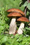 Forest mushrooms. On a green lawn at the end of summer Stock Image