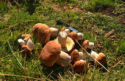 Forest mushrooms. Growing and collected among foliage in mountains Royalty Free Stock Photos