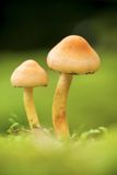Forest mushrooms. Macro photo of forest poison mushrooms Royalty Free Stock Photos