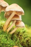 Forest mushrooms. Macro photo of forest poison mushrooms Royalty Free Stock Photography