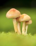 Forest mushrooms. Macro photo of forest poison mushrooms Stock Images