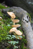 Forest mushrooms and rotten bough Stock Image