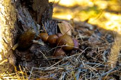 Forest mushrooms under the pine stock images