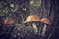 Forest Mushrooms Royalty Free Stock Photo