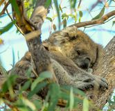 Koala is sleeping ,Victoria, Australia. Forest in a national park of Victoria, Australia stock image