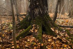 birch tree trunk close-up autumn forest foliage withering royalty free stock photography