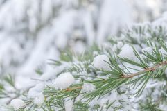Forest natural green pine tree covered with snow. With blurry background Royalty Free Stock Image