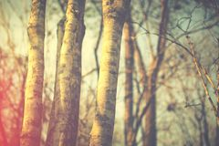 In the forest. Nature background in vintage color,  tree trunks in mixed deciduous forest Royalty Free Stock Photography