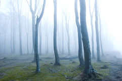 Forest. Nature. Fog in dark forest Royalty Free Stock Photo